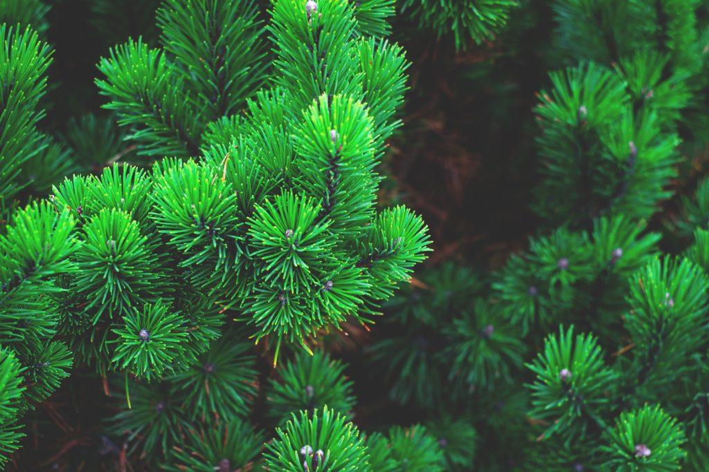 Waldbaden - Pinene, gasförmige Terpene aus der Waldluft, sind bioaktive Substanzen, die nachweislich unser Immunsystem stärken - easy-50